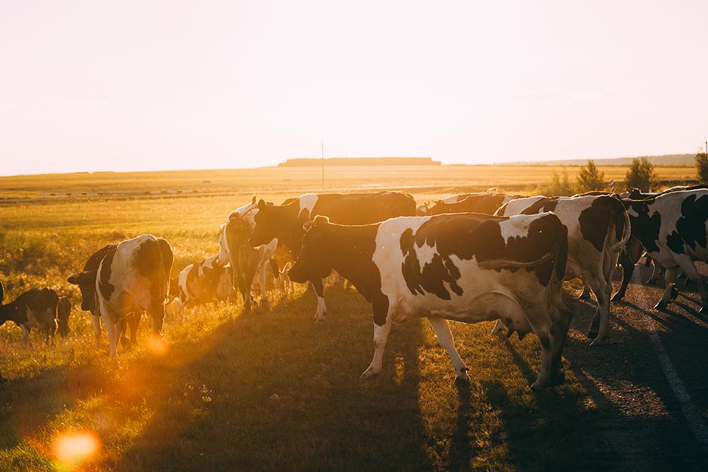 Rebanho no verão: você sabe como proteger seus bovinos?